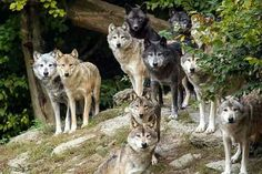 Now that's a wolf pack! :)