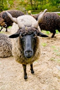 Schon mal gesehen? Das ungarische Zackelschaf (Ovis aries strepsiceros Hungaricus) #trauttmansdorff #sheep