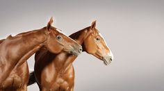Sage and her clone ShowMe, both successful polo pony mares, photographed byRamon Casares.