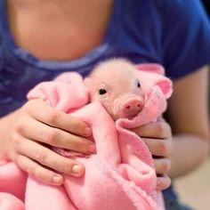 um porquinho que lindo