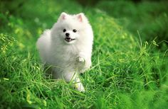 This is my next dog!!! Just for me. Stuart and I may get a big dog before that, but I want a white pommy darling!!!!