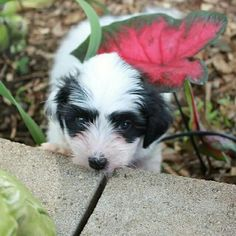 Sydney, (a Misti/Remy pup, Summer 2014) is rough and tumble girl with snuggle-me moments. Havanese :)