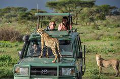 Cheetah In Serengeti National Park, Tanzania - Lemala Ewanjan Camp