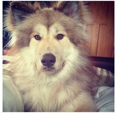 Native American Indian Dog - total cuddle beast. I want one! :)