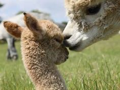 I would love to pet this baby alpaca. :) (Babies are called crias.)