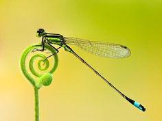 (dragon fly)
