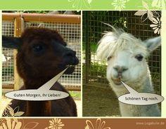 Sie finden auf dieser Seite lizenzfreie, weil von mir selbst fotografierte und verschönerte Bilder, kostenlos zum Download. #animal #cute #sweet #funny #nice #animelpicture   #naturephotography #Lama