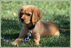 A Petite Golden Retriever: half King Charles Cavalier Spaniel, half Golden Retriever. I want this dog!!!