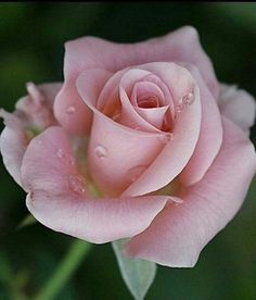 Aroma a Rosa Beautiful Rose Flowers, Love Rose, Exotic Flowers, Amazing Flowers, Beautiful Flowers, Rose Pictures, Rose Photos, Flower Photos, Purple Roses