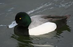 Les Kouba A//P THe Regal Divers-Greater Scaup
