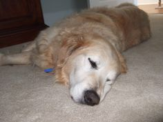 This is Lucky - 11 yrs. He is an owner surrender & has been confused & upset at having to leave his home & a canine pal. he is neutered, current on vaccinations, potty trained, has good house manners, walks well on leash & rides well in a car (he gets in fine but may need help getting out) & good with dogs. Not cat or kid tested.  Lucky will need time & patience  to adjust to his new forever home. Golden Retriever Rescue of Atlanta, GA. http://www.petfinder.com/petdetail/28202245/