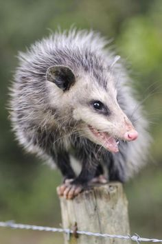 Possum Possee: Welcome these angels into your yard.Possums are, by nature, gentle non aggressive critters. They are probably the most beneficial of the native wildlife cleaning up dead things and rotten fruit. They are also immune to rattlesnake and viper venom, controlling those populations.
