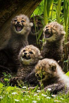 beautymothernature:  Little Cheetahs by M share moments