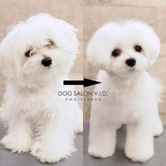 Dog Grooming Styles, Dog Grooming Salons, Dog Grooming Business, Pet Grooming, Maltese Haircut, Puppy Haircut, Maltese Poodle Mix, Maltese Dogs, Really Cute Dogs