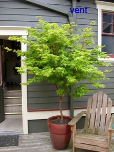 Coral Bark Japanese Maple. I will have one of these in front of my house...not in a pot though.