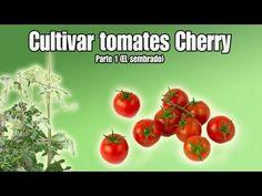 cultivo del tomate cherry sembrar tomates cherry parte youtube