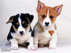 Corgi puppies - they have hearts for noses…and the brown one has a heart on his chest…