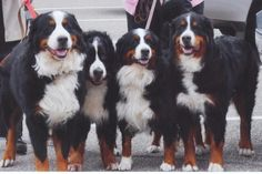 i'm getting a bernese mountain dog. Large Dog Breeds, Best Dog Breeds, Large Dogs, Best Dogs, Animals And Pets, Baby Animals, Cute Animals, Bernese Mountain, Mountain Dogs