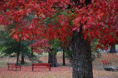 Red oaks at Hot Springs, Arkansas