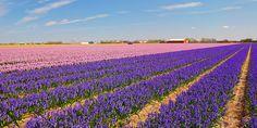 KLM Reiseführer - 7 Millionen Frühlingsblüten im Keukenhof!