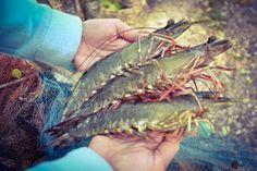 Bệnh mới do vi khuẩn Vibrio bùng phát trên tôm sú... | Mạng Thủy sản Việt Nam
