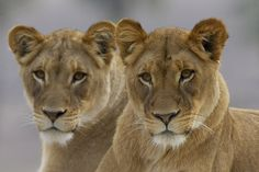 Lionesses by Official San Diego Zoo, via Flickr