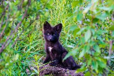 Tombstone Territorial Park Yukon |wolf pup