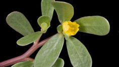 Purslane or Portulaca oleracea is also known as moss rose, parsley, red root, little hogweed, pigweed and verdolaga.It`s considered like a common weed . Healing Herbs, Medicinal Plants, Smoothies Verdes, Portulaca Oleracea, Edible Wild Plants, Vides, Wild Edibles, Growing Herbs, Companion Planting
