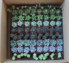 """A sampling of some orders we shipped today, 2"""" and 2.5"""" potted and some assorted rosette cuttings. TheSucculentSource"""