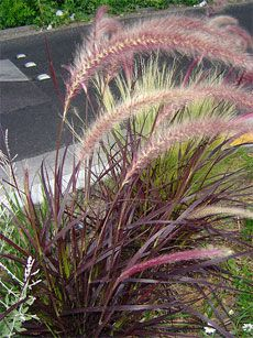 New in my garden- PURPLE FOUNTAIN GRASS - care, hardy to zone mulch well ornamental grass, landscaping with ornamental grass, drought tolerant grass, grass for full sun.
