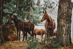Horses among Pine trees by René Jordaan Photography on @creativemarket