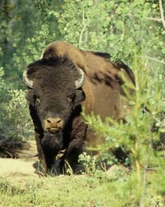 North American Bison | The endangered wood bison, the largest land mammal of North America.