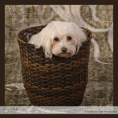 Studio styled pet photography with my maltioo, Gretchen. Pet Photography, Fashion Studio, Jackson, Dog, Pets, Style, Animals And Pets, Doggies, Jackson Family