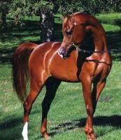 Chestnut Arabian Horse by forset123