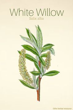White Willow Salix alba #F4F #animals #vitaminA