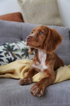 Sprocker Spaniel Puppies, Cocker Spaniel Dog, Cute Dogs And Puppies, Baby Dogs, Doggies, Working Cocker, Cockerspaniel, Little Dogs, Beautiful Dogs