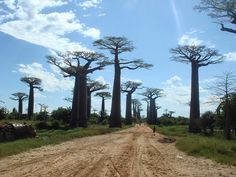The Avenue of the Baobabs is a group of famous trees lining the dirt road between Morondava and Belon'i Tsiribihina in western Madagascar. Its striking landscape draws travelers from around the world, making it one of the most visited tourist attractions in Madagascar. The Baobab trees, up to 800 years old, did not originally tower in isolation over the sere landscape of scrub but stood in dense tropical forest. Over the years, as the country's population grew, the forests were cleared for agric