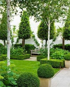 Love this look using exotic species incl Silver Birch? This can also be achieved with hardy Australian natives; Tristaniopsis laurina DOW10 'Luscious' - a compact tree to 6m with burgundy bark that peels to reveal a silvery trunk. For small 'pyramids' (and medium hedges) substitute with select broad-leafed Acmena smithii such as FIRESCREEN Pbr or SUBLIME Pbr clipped to shape. Acmena smithii ALLYN'S MAGIC Pbr is a lush, low clipped border... Bob's Your Uncle!