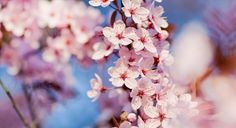 the magnificent cherry tree blossom...