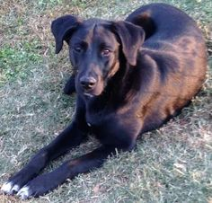 Petango.com – Meet Reagan Bella, a 1 year 2 months Retriever, Labrador / Mix available for adoption in ANDOVER, MA