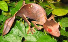 Natural da ilha de Madagascar, a lagartixa satânica tem hábitos noturnos e só se move para fugir ou caçar insetos. Alguns exemplares desta espécie têm bizarros olhos vermelhos! http://abr.io/4fYC