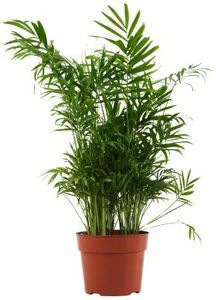 Are Palm Plants Poisonous To Cats