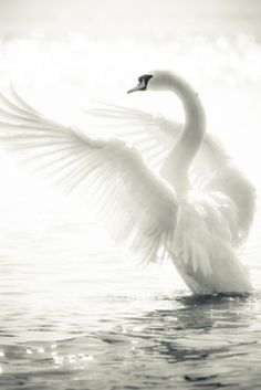 Swan getting on its wings by Dittekarina #HelloWhite