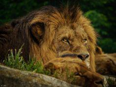 Photograph Lion, Vienna Zoo by Massimiliano Coniglio on 500px