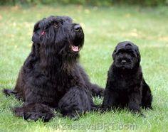Black Russian Terrier Dog #Dogs #Puppy Big Puppies, Big Dogs, Beautiful Dog Breeds, Beautiful Dogs, Russian Dogs, Animals And Pets, Cute Animals, Black Russian Terrier, Giant Schnauzer