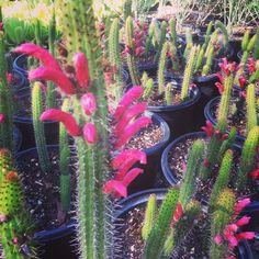 It's September and the Borzicactus are in bloom at Serra Gardens Landscape Succulents! https://shop.cacti.com/landscape-succulents/oreocereus-celsianus-var-fossulatus/ #SerraGardens_cacti
