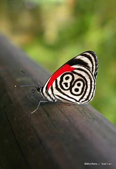~~Eighty Eight Butterfly ~ Argentina by MattSullivan~~