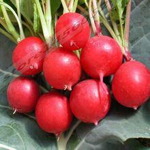 Organic radish seeds for home gardening