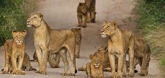 sabi-sabi-lion-pride-590.jpg (590×280)