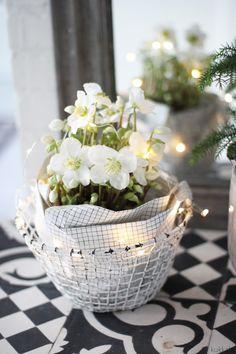 KUKKALA: Jouluruusu lahjapaperissa